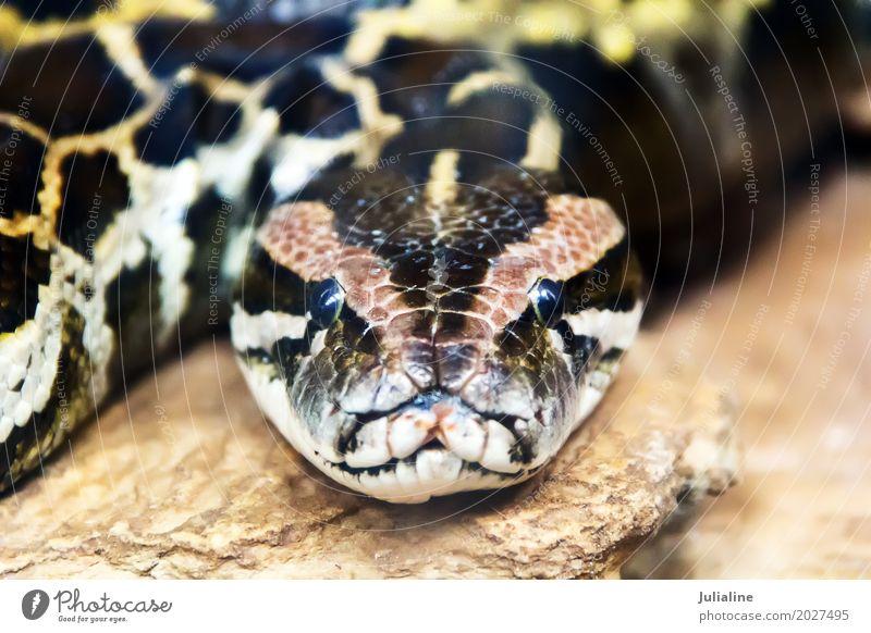 retikulierte Python Kopf in vollem Gesicht exotisch Haut Zoo Tier Leder Schlange 1 Schutz Boa Tierwelt Reptil Lebewesen reptilisch Anakondas Zoologie Raubtier