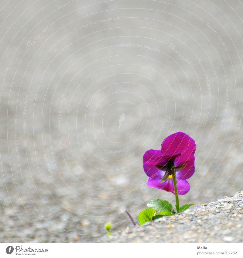 Durchsetzungsvermögen Umwelt Natur Pflanze Blume Blüte Stiefmütterchen Stein Blühend Wachstum Freundlichkeit schön klein positiv violett Gefühle Stimmung