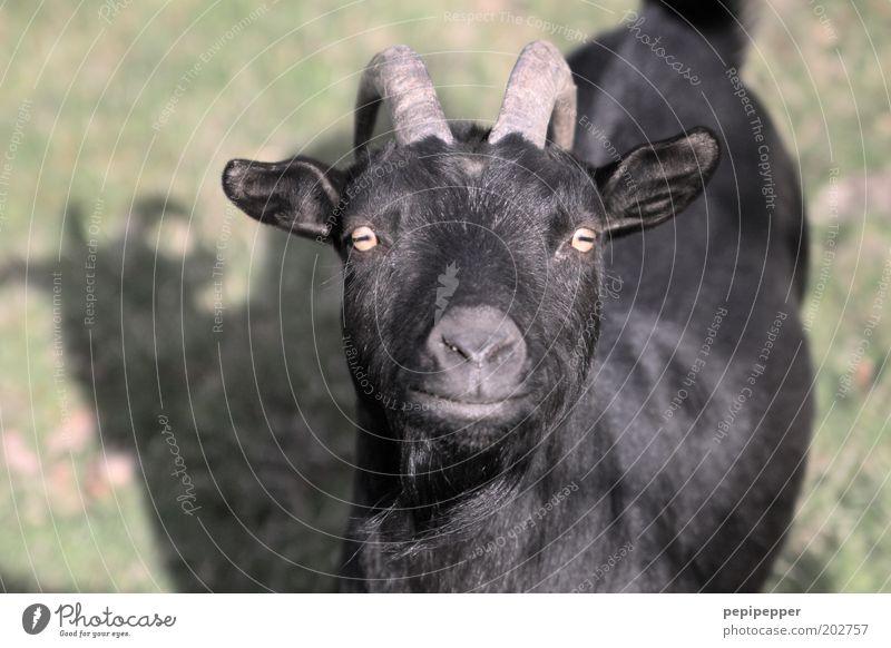 ziege Wiese Tier Nutztier Tiergesicht Fell Zoo Streichelzoo 1 schwarz Ziegen mehrfarbig Außenaufnahme Tag Zentralperspektive Blick Blick in die Kamera
