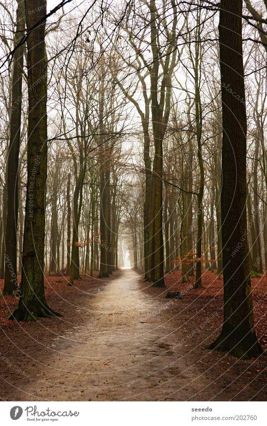 Ein Weg in einem Wald Natur Pflanze Herbst Baum Kiefer Ewigkeit Perspektive Ende dunkel Ferne Unendlichkeit hoch braun schwarz weiß Schwerpunkt Wege & Pfade