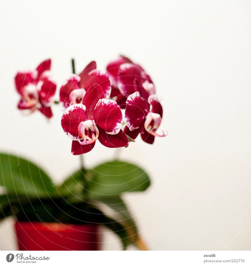 topffpflanze Pflanze Orchidee Blatt Blüte Topfpflanze schön Farbfoto Innenaufnahme Blumentopf rot rosa Textfreiraum rechts