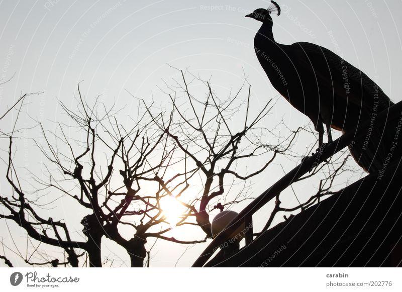 Evening Sun Tier Vogel Zoo Hoffnung Natur Außenaufnahme Textfreiraum oben Licht Schatten Pfau Baum laublos Sonne Dämmerung