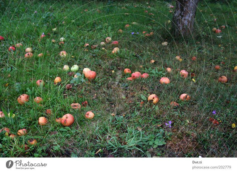 Streuobst Natur grün Baum Wiese Herbst Gras Garten Frucht fallen viele Baumstamm Apfel Bioprodukte ökologisch Apfelbaum Obstbaum