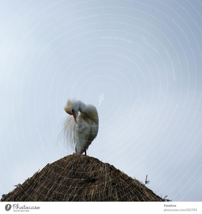 Ich mach's Gefieder schön, ich mach's Gefieder schön! Natur Himmel weiß Tier grau hell braun Vogel Feder Reinigen Wildtier Textfreiraum links