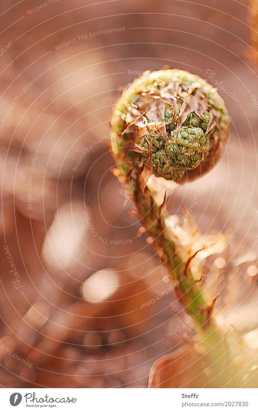 Lebenskraft Natur Pflanze Frühling Farn Wildpflanze Jungpflanze Waldpflanze Trieb Waldboden Wachstum rund braun grün Waldstimmung Symmetrie Frühlingstag April