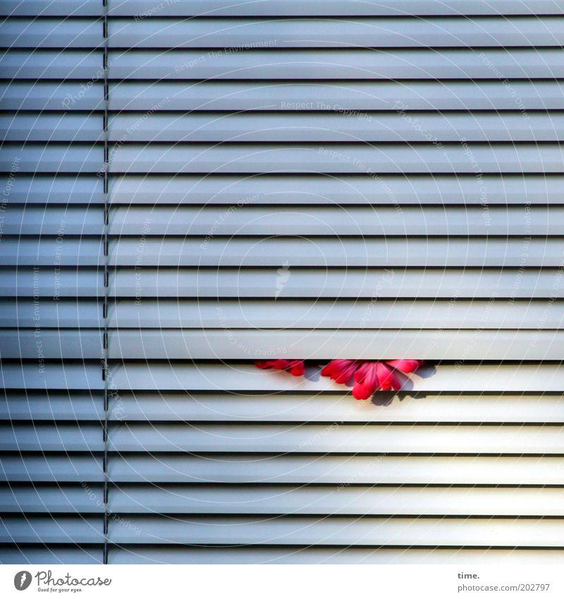 Schwitzkasten Blume Jalousie Außenaufnahme weiß Lamelle Lamellenjalousie geschlossen einklemmen Schatten parallel horizontal Zugband Schlitz Fenster