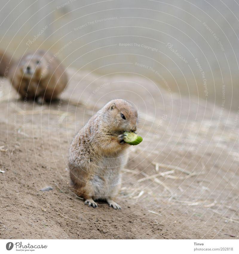 Und täglich frißt das Murmeltier... Ernährung Tier klein Gemüse Gurke Fell Hügel festhalten Wildtier niedlich Lebensmittel Fressen hocken Krallen Nagetiere