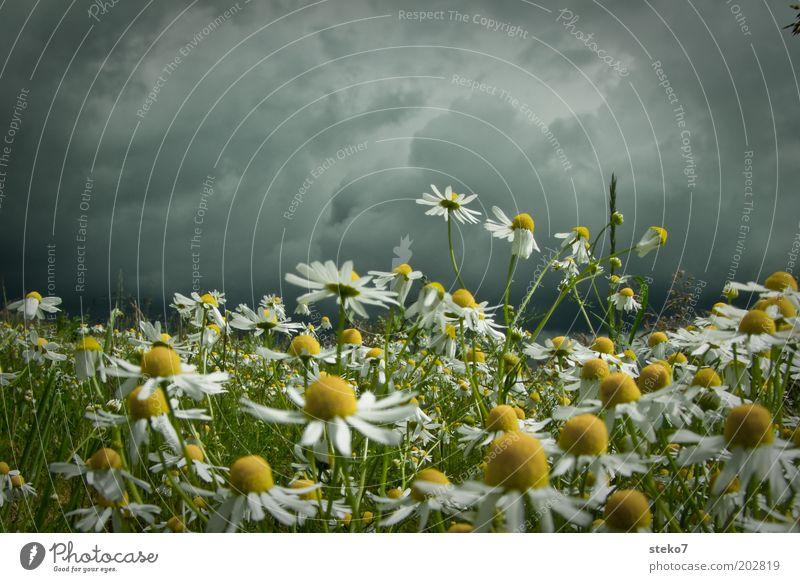 Ruhe vor dem Blütensturm grün Pflanze gelb dunkel Wiese Frühling grau Landschaft bedrohlich Blühend unheimlich Kräuter & Gewürze intensiv schlechtes Wetter