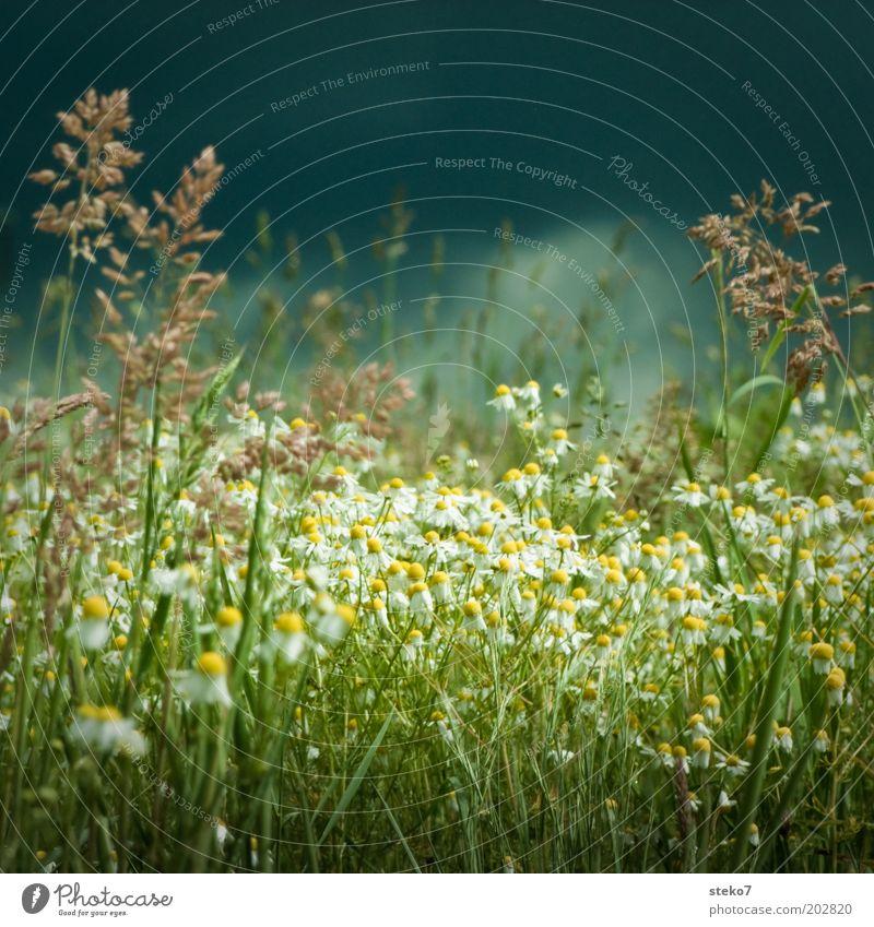 Ruhe vor dem Blütensturm II Natur Landschaft Pflanze Gewitterwolken Frühling schlechtes Wetter Unwetter Blume Gras Wiese Blühend bedrohlich dunkel gelb grau