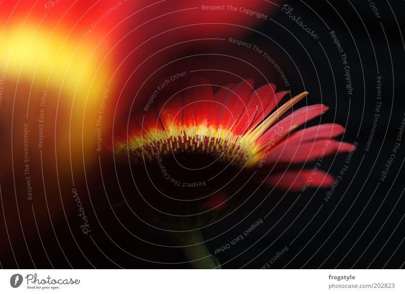 Gerbera Pflanze Feuer Blume Blüte exotisch Blühend Duft leuchten ästhetisch frisch gelb rot schwarz Farbfoto Innenaufnahme Nahaufnahme Menschenleer