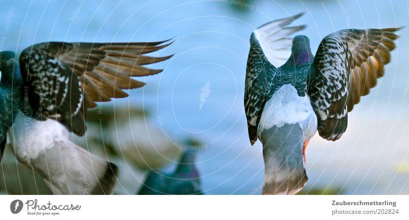 wings Tier Taube Flügel 2 uneinig Symmetrie Überraschung flattern Flucht Trennung Farbfoto Außenaufnahme fliegen Irritation