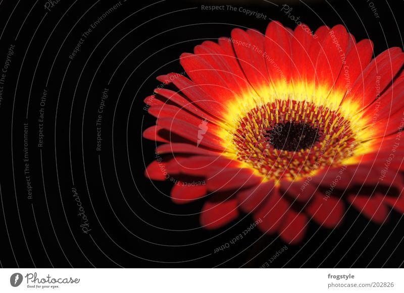 Gerbera Blume Pflanze rot schwarz gelb Blüte frisch ästhetisch rund Blühend leuchten Duft