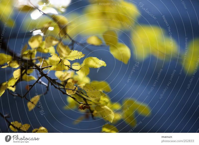 draußen Erholung ruhig Natur Herbst Baum Sträucher Blatt Wildpflanze Herbstfärbung Herbstlaub herbstlich ästhetisch frisch positiv blau gelb Leben Farbe