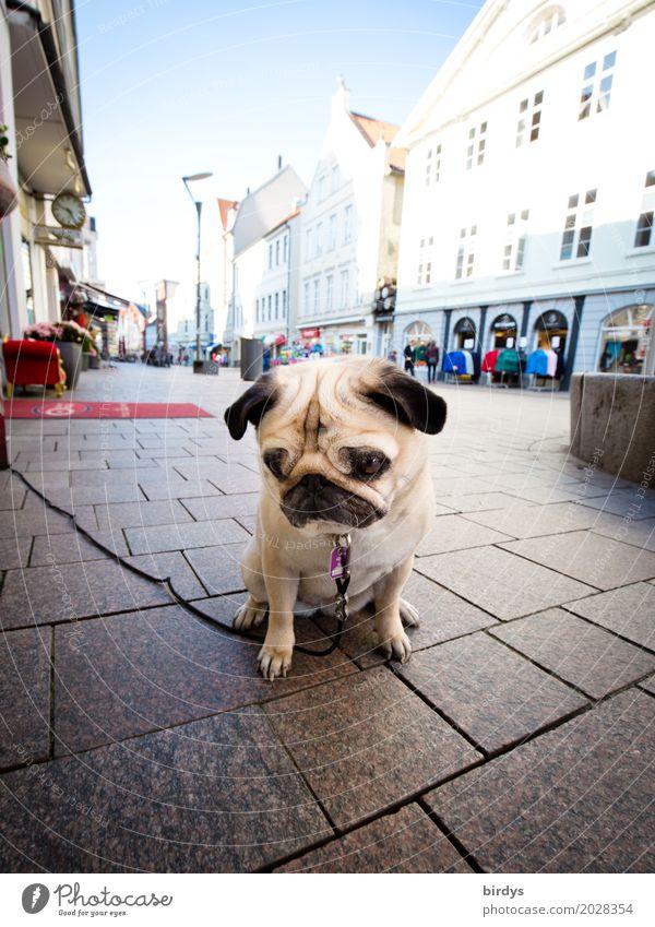Sad Mops Lifestyle kaufen Himmel Stadt Stadtzentrum Fußgängerzone Haus Haustier Hund 1 Tier warten authentisch niedlich Gelassenheit Langeweile Traurigkeit