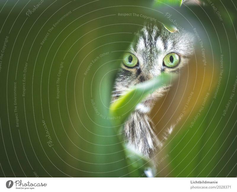 Grün im Grün Auge Pflanze Tier Blatt Grünpflanze Topfpflanze Drachenbaum Haustier Katze Tiergesicht Fell Norwegische Waldkatze Blick nah Neugier niedlich klug