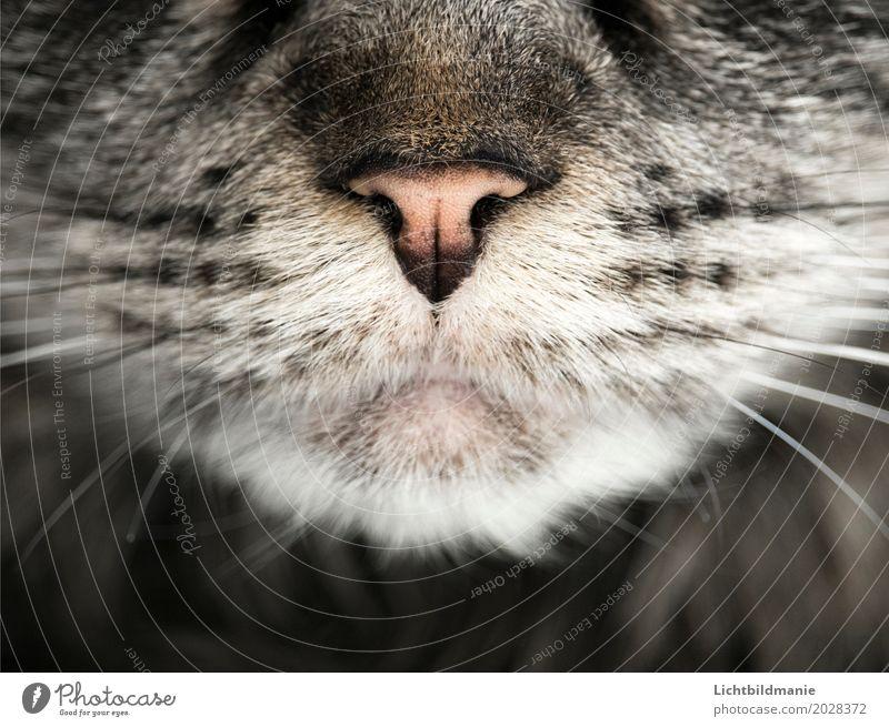 Jäger Tier Haustier Katze Tiergesicht Fell Katzenmaul Schnauze Schnurrhaar Tastsinn Nase Tigerkatze Tigerfellmuster Fellstruktur ästhetisch grau schwarz weiß