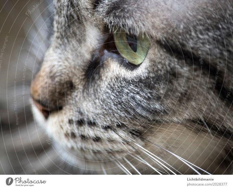 Katzengedanken Tier grauhaarig Haustier Tiergesicht Fell Katzenauge Katzennase Nase Schnurrhaar Maul Katzenmaul Tigerkatze Tigerfellmuster Katzenkopf atmen