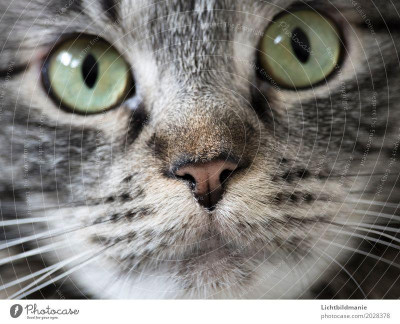 Süße Schnauze Tier Haustier Katze Tiergesicht Fell Nase Maul Schnurrhaar Auge Tigerfellmuster Norwegische Waldkatze Katzennase Katzenmaul atmen beobachten