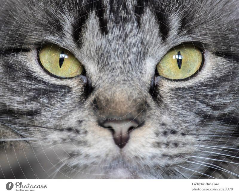 Im Visier Tier Haustier Katze Tiergesicht Fell Norwegische Waldkatze Katzenauge Auge Nase Tigerkatze Tigerfellmuster Schnurrhaar beobachten ästhetisch schön