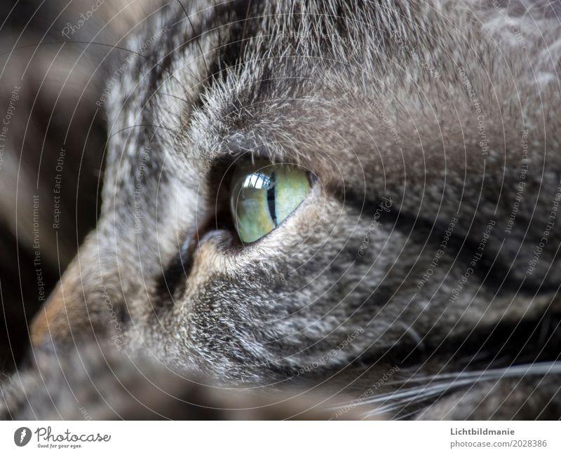Moment der Ruhe Tier Haustier Katze Tiergesicht Fell Katzenauge Tigerfellmuster Tigerkatze Schnurrhaar Tastsinn Sinnesorgane Fellstruktur grüne Augen