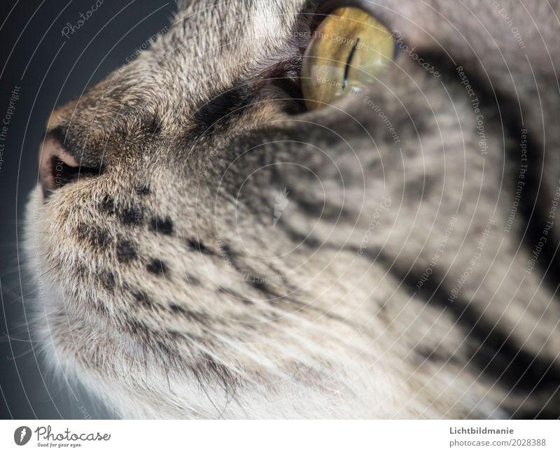 Immer der Nase nach Tier Haustier Katze Tiergesicht Katzenauge Katzennase Katzenmaul Maul Auge Schnurrhaar 1 beobachten Jagd Blick Spielen frech Freundlichkeit