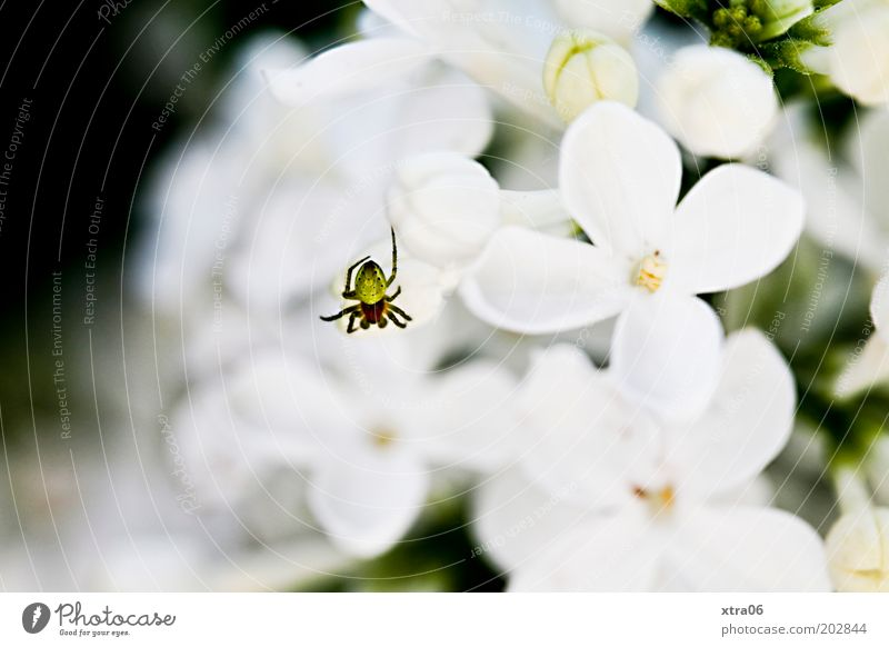 kleine spinne weiß Pflanze Blüte authentisch Spinne Blütenblatt Sträucher Makroaufnahme Fliederbusch Blütenstauden