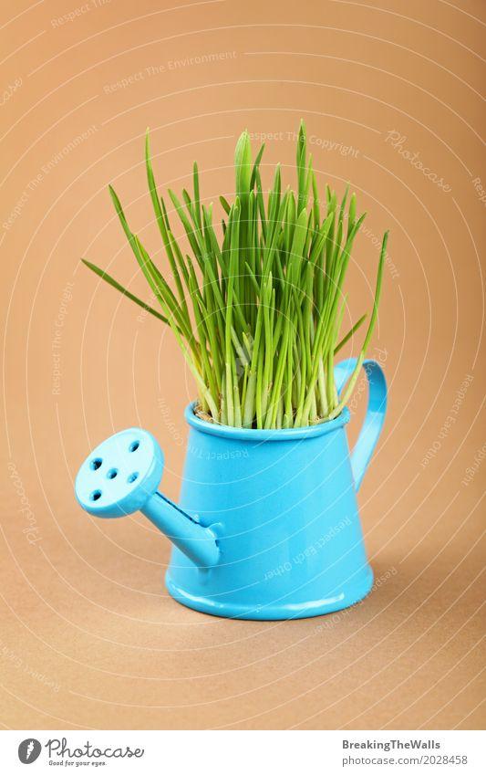 Grünes Gras, das oben im blauen Bewässerungstopfabschluß wächst Natur Pflanze grün Frühling natürlich klein Garten braun Wachstum frisch Kreativität Idee