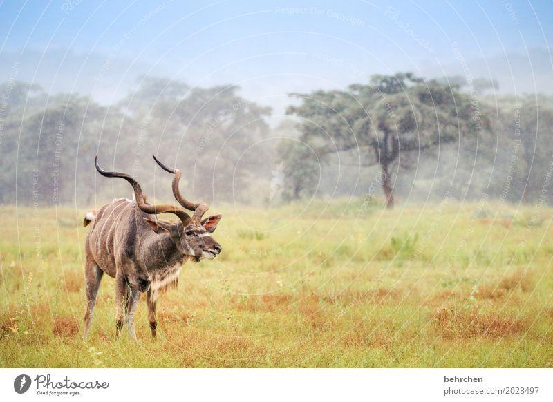 du KU(h)DU Ferien & Urlaub & Reisen Tourismus Ausflug Abenteuer Ferne Freiheit Safari Gras Wiese Feld Wald Südafrika Tier Wildtier Tiergesicht Fell Kudu Horn 1