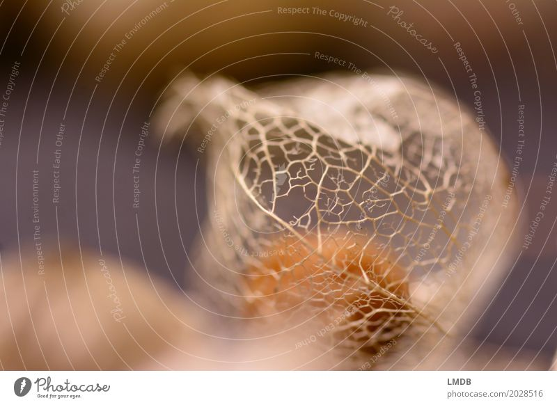 Netz im Herbst Umwelt Pflanze Dürre braun trocken netzartig durchsichtig sensibel Verfall Trauer Vergänglichkeit zierlich fein Physalis Frucht Samen Farbfoto