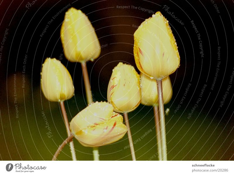 Gelbe Tulpen Blume gelb Blüte mehrere