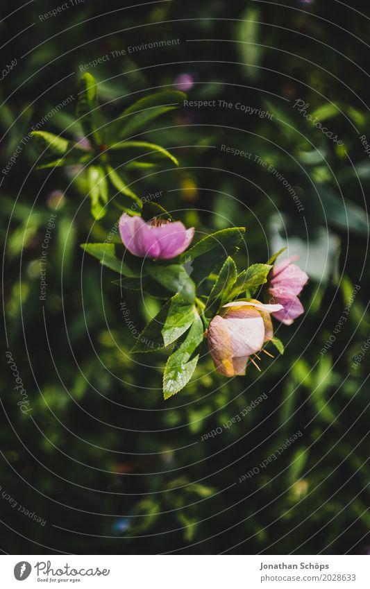 rosa Blüten Umwelt Natur Frühling Pflanze Blume Grünpflanze Garten Park ästhetisch Wachstum Blühend grün Naturphänomene Beginn Neuanfang frisch Farbfoto