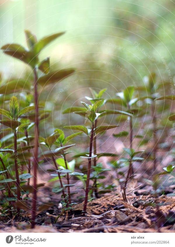 Pfefferminze Pflanze Blatt Grünpflanze Nutzpflanze Minze Minzeblatt Duft Wachstum frisch Gesundheit grün Bioprodukte Erfrischung Heilpflanzen Ernährung Farbfoto