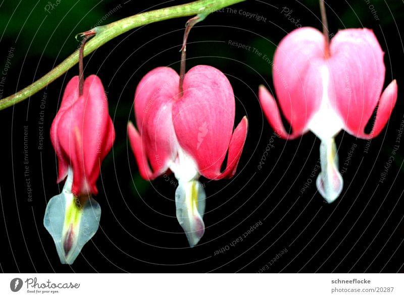 Tränendes Herz Blume Blüte rosa