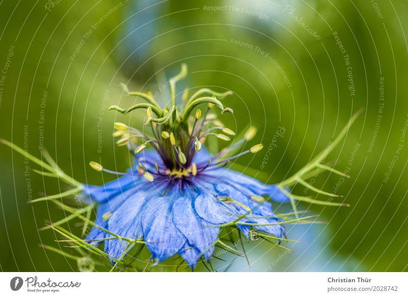 Nigella damascena Natur Ferien & Urlaub & Reisen Pflanze blau Sommer Blume Erholung Tier ruhig Umwelt Leben Blüte Wiese Tourismus Zufriedenheit Wachstum