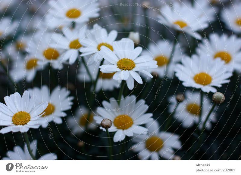 Schönen Sonntag Natur Pflanze Frühling Blume Blüte Margerite Garten Freundlichkeit frisch Glück Fröhlichkeit Frühlingsgefühle Vorfreude Farbfoto Außenaufnahme
