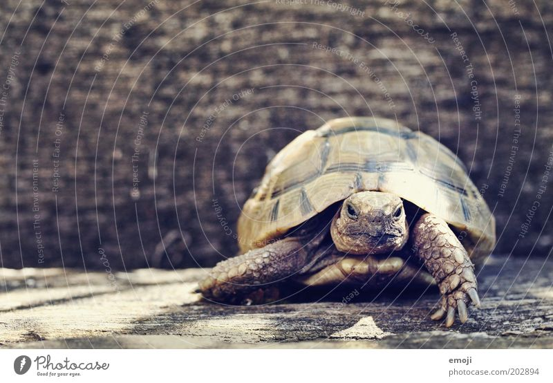 Ninja Turtle Tier Haustier Wildtier Zoo 1 gehen warten Schildkröte Reptil Panzer Farbfoto Außenaufnahme Textfreiraum links Textfreiraum oben Tag Tierporträt