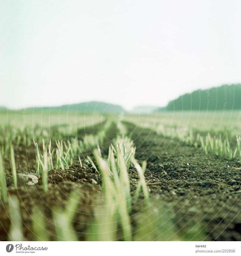Junge Triebe grün Ferne Frühling Landschaft hell Feld Zeit Erde Wachstum natürlich Stengel Landwirtschaft Ernte Ackerbau ökologisch nachhaltig
