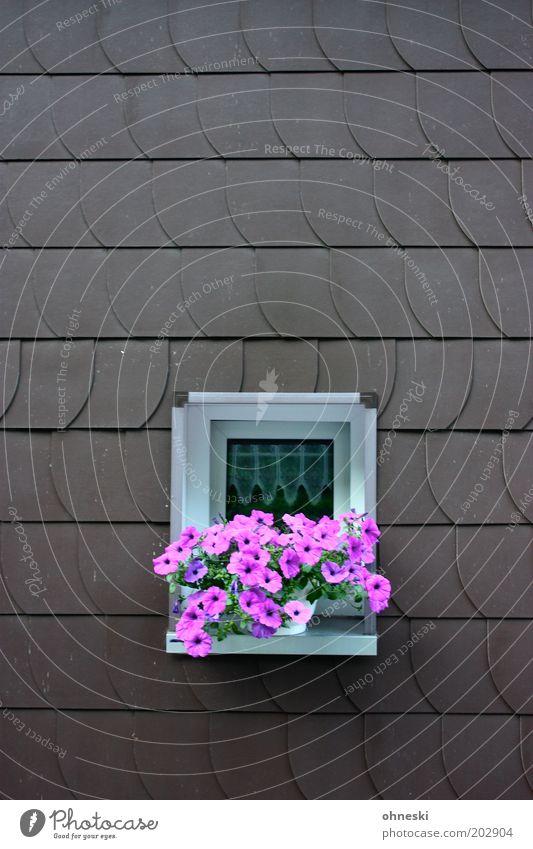 Pink Plants Pflanze Blume Blüte Topfpflanze Haus Fassade Fenster rosa Fensterbrett Schindel Petunie Farbfoto mehrfarbig Außenaufnahme Textfreiraum oben