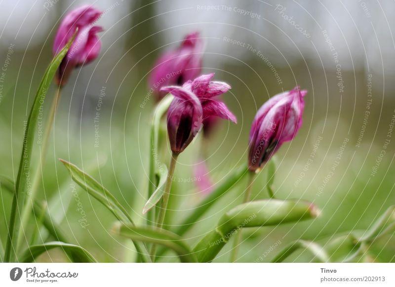 Gockel Natur Blume grün Pflanze Frühling Park rosa frisch Wachstum Wandel & Veränderung Blühend chaotisch