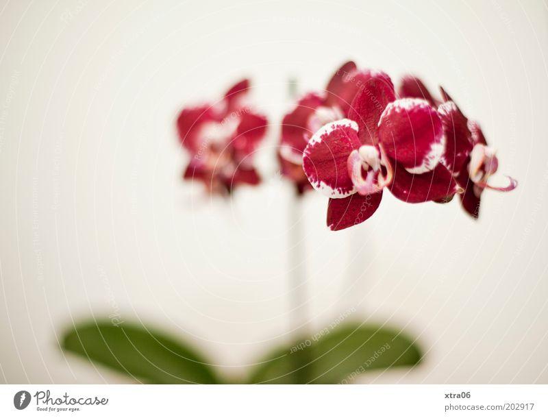 Phalaenopsis Pflanze Orchidee Blüte Topfpflanze exotisch ästhetisch elegant Farbfoto Innenaufnahme Textfreiraum links Hintergrund neutral Schwache Tiefenschärfe