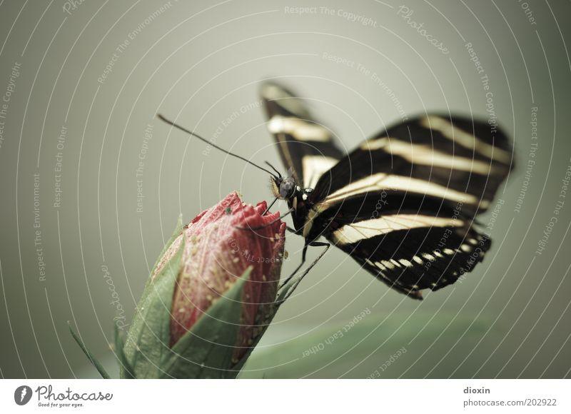 Butterfly´s Bellini Umwelt Natur Pflanze Tier Blume Blüte Blütenknospen Urwald Schmetterling Flügel Facettenauge Fühler Beine 1 Fressen exotisch schön klein