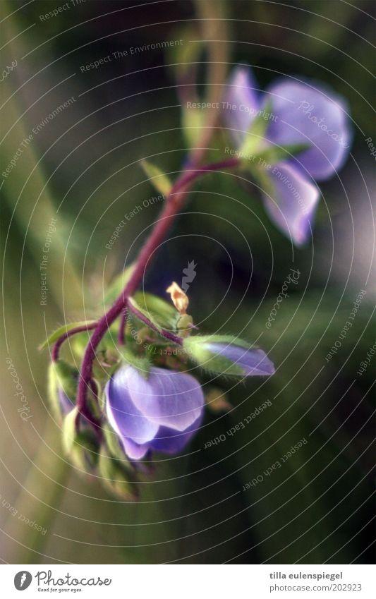 violett Sommer Natur Pflanze Frühling Blume Blüte Wiese Blühend wild grün Farbe Umwelt Vergißmeinnicht Unschärfe Textfreiraum unten Schwache Tiefenschärfe