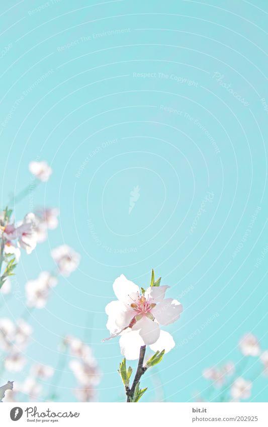UND ICH STEH IM TOR Valentinstag Muttertag Taufe Natur Pflanze Himmel Wolkenloser Himmel Blüte Kitsch blau rosa Duft Leichtigkeit Blütenblatt Blütenknospen