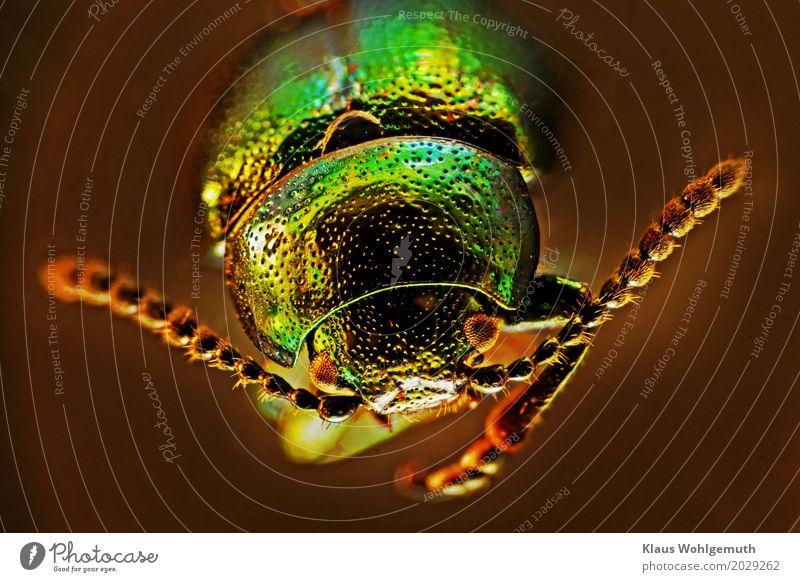 Goldaugen Umwelt Natur Tier Sommer Garten Park Feld Minzeblattkäfer 1 Mikroskop krabbeln Blick exotisch glänzend braun gold grün Chitin Fühler Facettenauge