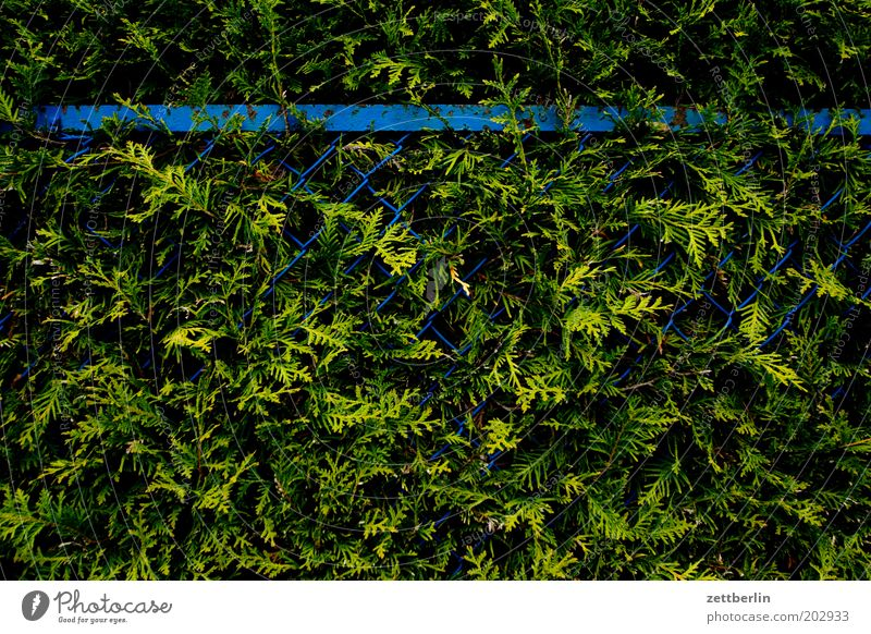 Zaun und Hecke blau grün Garten geschlossen Wachstum Urwald Barriere Farn Baum Konifere Gartenzaun Maschendraht Maschendrahtzaun Lebensbaum