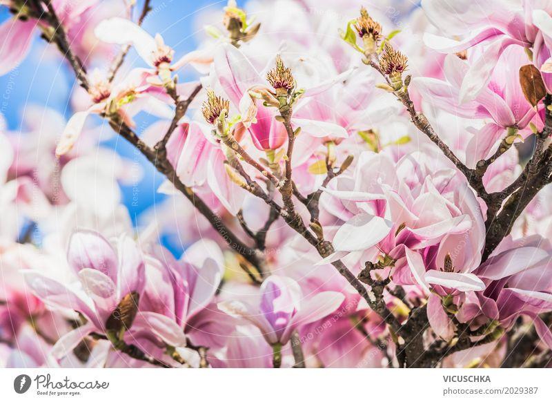 Magnolienblüten Design Garten Natur Pflanze Frühling Schönes Wetter Blume Sträucher Blatt Blüte Park Blühend rosa weiß Magnoliengewächse April Mai beeindruckend