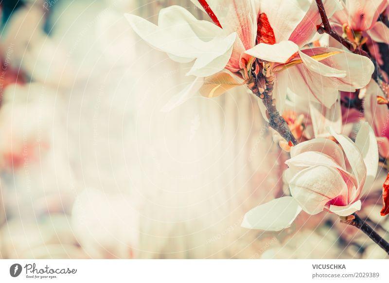 Frühling Natur Hintergrund mit Magnolien Blüten Pflanze Sommer Blume Blatt Hintergrundbild Garten Design rosa Park retro Blühend Schönes Wetter Romantik