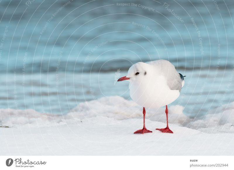 Alles klar Natur blau Wasser weiß Meer Tier Winter Umwelt kalt Schnee Küste klein Vogel Eis natürlich Klima