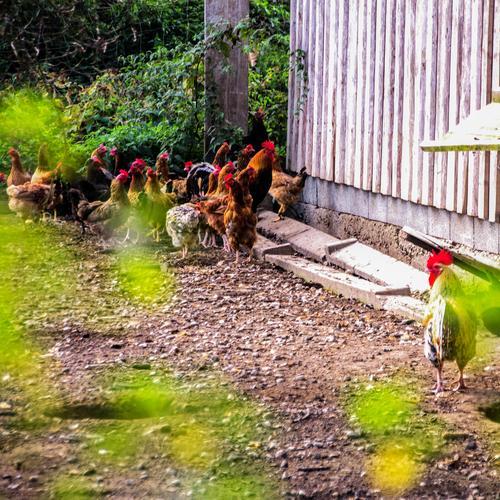 Was hat er, was ich nicht habe? Landwirtschaft Forstwirtschaft Hühnerhof Bauernhof Natur Dorf Tier Haustier Vogel Haushuhn Hühnerstall Hahn 1 Tiergruppe