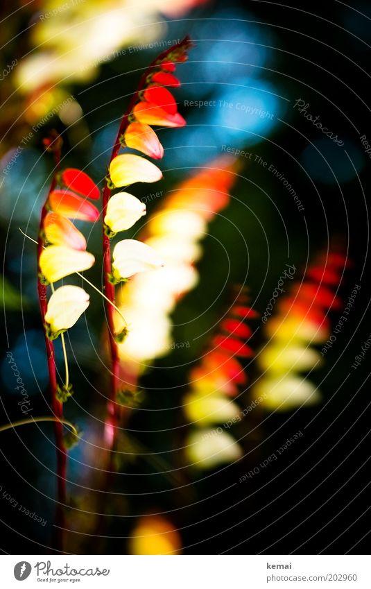 Feuerblume Natur schön Blume Pflanze rot Sommer gelb Blüte Garten Stein Wärme hell glänzend elegant Wachstum außergewöhnlich